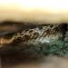 Snake, Otay Mountain Wilderness, San Diego County, CA, 3-31-18 by AzureJay Wildlife Documentation