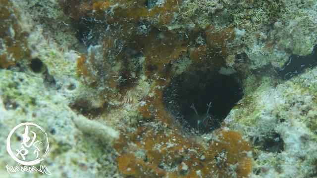 大崎でモンツキカエルウオを発見したという証拠写真(笑)