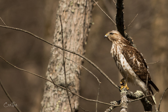 Juvenile Red-shouldered Hawk., Canon EOS 7D MARK II, Canon EF 300mm f/2.8L IS
