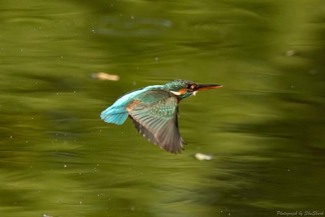 20180527-kingfisher-DSC_2756