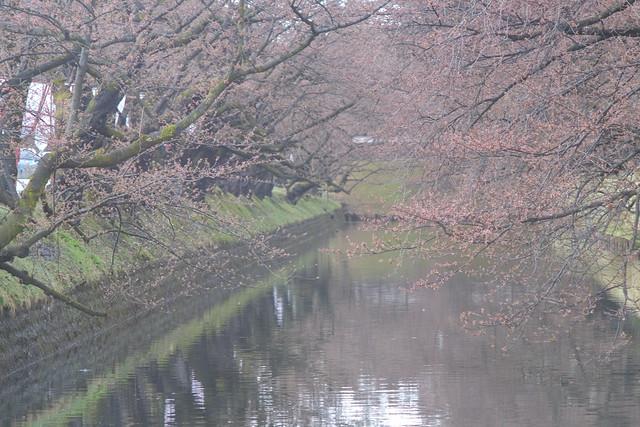 Sakura buds on the ditch