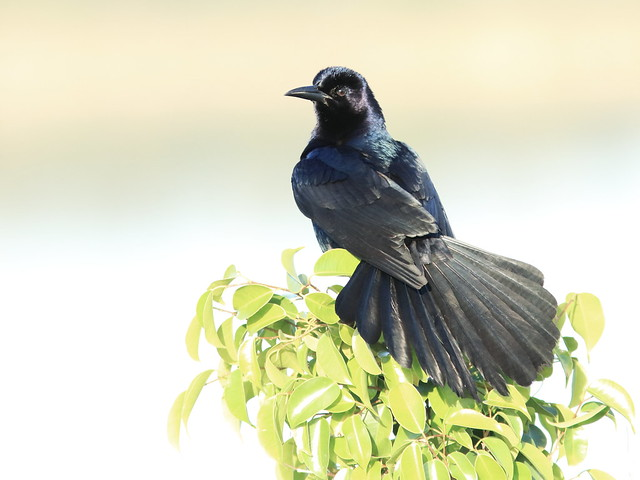Boat-tailed Grackle 01-20180414