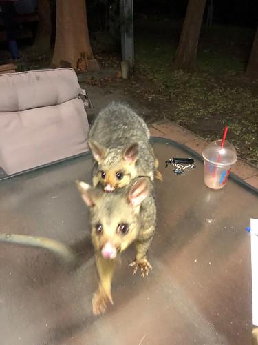 Possum at Rosco