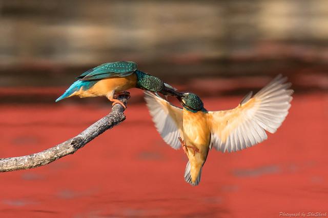 20180331-kingfisher-DSC_0760
