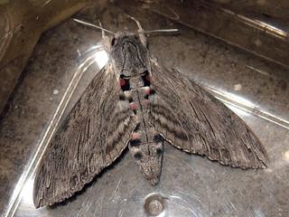 Agrius convolvuli - Convolvulus hawk-moth - Бражник вьюнковый
