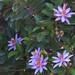 Lavender Star Fower by David Y. Allen