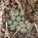 Small photo of Ring-necked Pheasant Nest