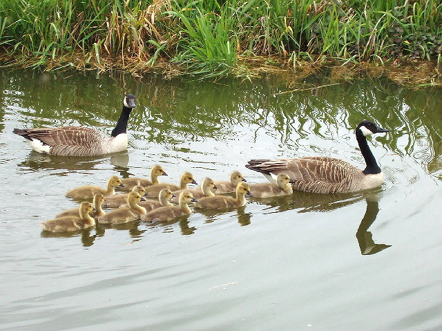 Geese and goslings swim in V-formation in an English canal. The Canada geese had shepherded the thirteen goslings from the bank into the canal and escorted them in a close convoy. Photo taken by David Hawgood on May 9, 2007.