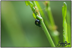 Dock beetle (f)