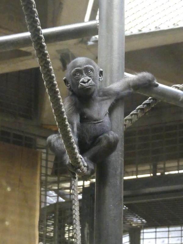 Gorilla, Allwetterzoo Münster