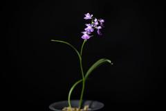 [Mt. Kurokami Saga, Japan] Ponerorchis graminifolia var. kurokamiana 'Ujyo (rainy scene)' (Hatus. & Ohwi) T.Hashim., Proc. World Orchid Conf. 12: 119 (1987)