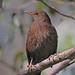 BLACKBIRD  //  TURDUS  MERULA (26CM) (f)