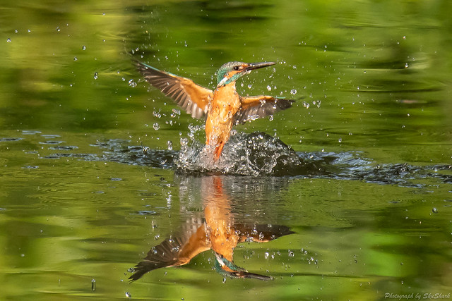 20180527-kingfisher-DSC_2787