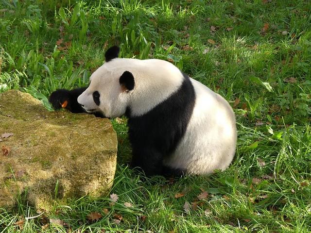 Großer Panda, Ouwehands Dierenpark Rhenen