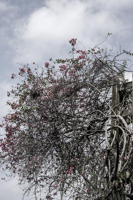 pinky tree, Fujifilm X-T1, XF35mmF1.4 R