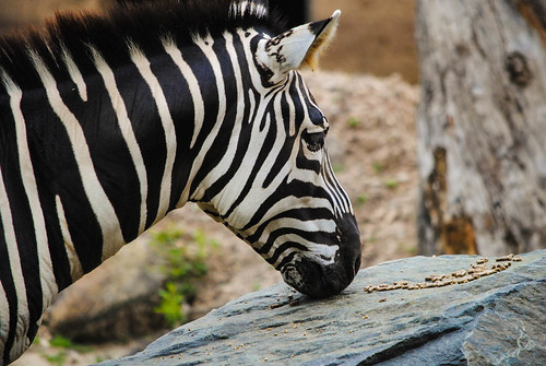 Zebra Found a Snack