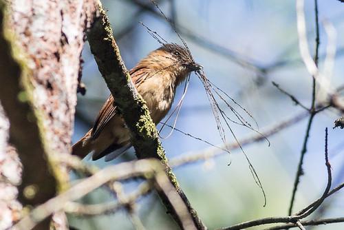 Rose-throated Becard - female