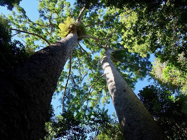 Twin Kauri trees, Lake, Sony DSC-HX60V, Sony 24-720mm F3.5-6.3