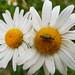 fat legged beetle on ox eye daisy