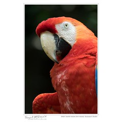 Detail: Scarlet macaw (Ara macao), Guayaquil, Ecudor