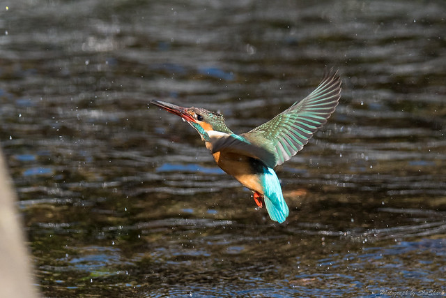 20180330-kingfisher-DSC_9952