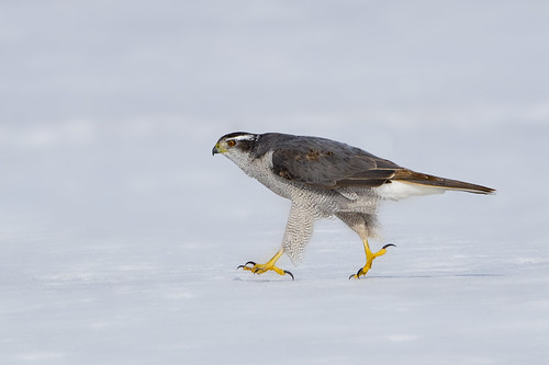 Northern Goshawk Adult