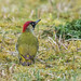Green Woodpecker ( Picus viridis ) Female by Dale Ayres