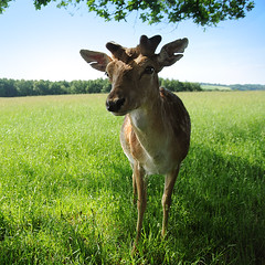Buck Under Tree