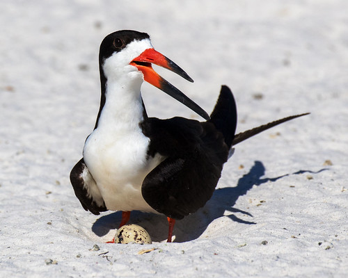 outdoor seaside shore sea sky water nature wildlife 7dm2 ocean canon florida bird black skimmer gulf beach