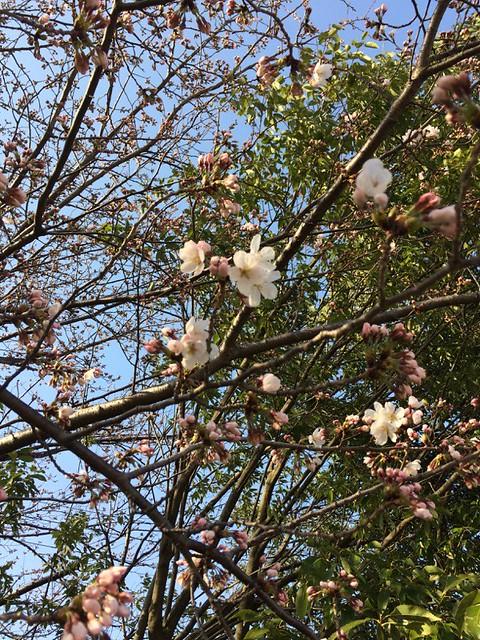 Plum Blossoms Bloom . Cherry Blossom Flowering .