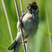 reed bunting 21 2018 female with food