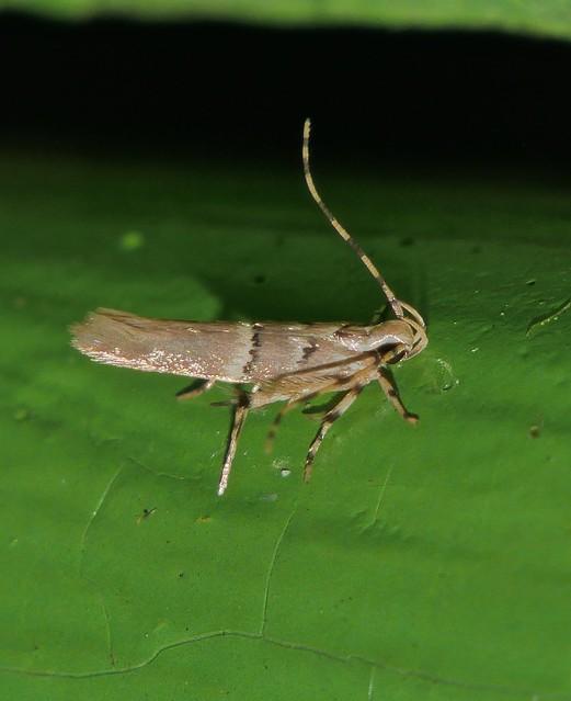 Goat horned micro moth, Panasonic DMC-G85, Lumix G X Vario PZ 45-175mm F4.0-5.6 Asph. Power OIS
