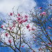 The magnificence of Magnolias