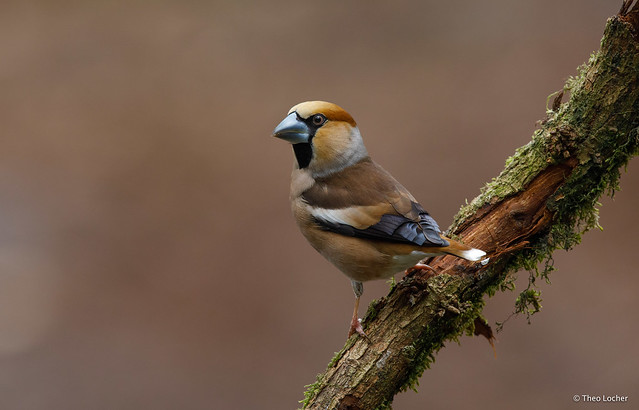 Appelvink - Hawfinch -  Coccothraustes coccothraustes -9284