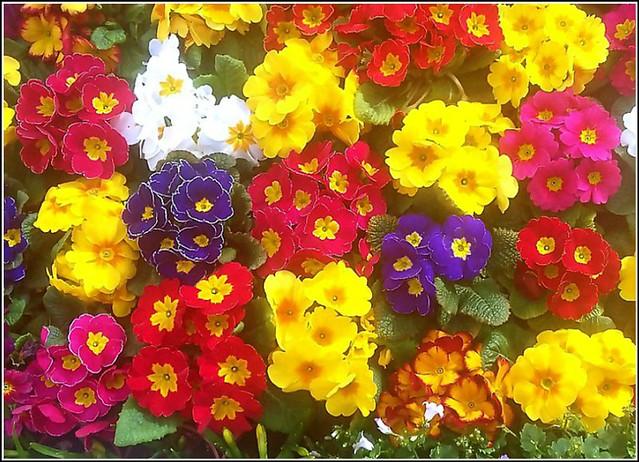 Display of Primulas ...