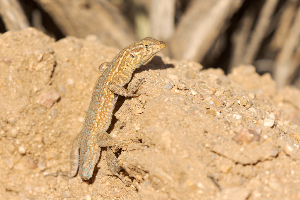 A common side-blotched lizard with a missing tail clings to a mound of dirt on Brown's Ranch Road in the McDowell Sonoran Preserve in Scottsdale, Arizona