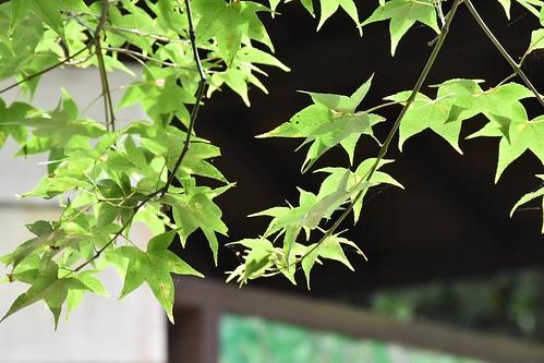 天溪園-青楓