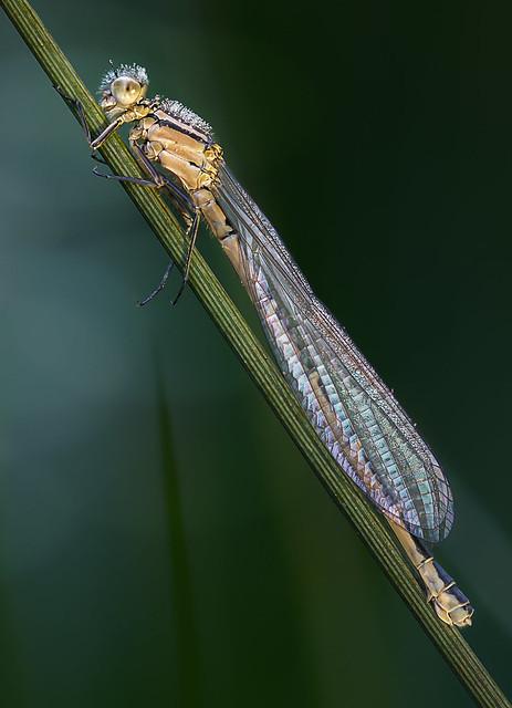 Die kleine Libelle..., Canon EOS 80D, Sigma 105mm f/2.8 EX DG OS HSM Macro