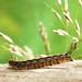 Hairy larva