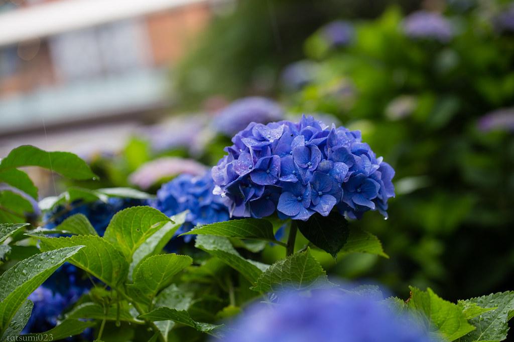 2018-06-15 箱根登山鉄道と紫陽花 002
