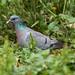 Stock Dove ---- Columba oenas