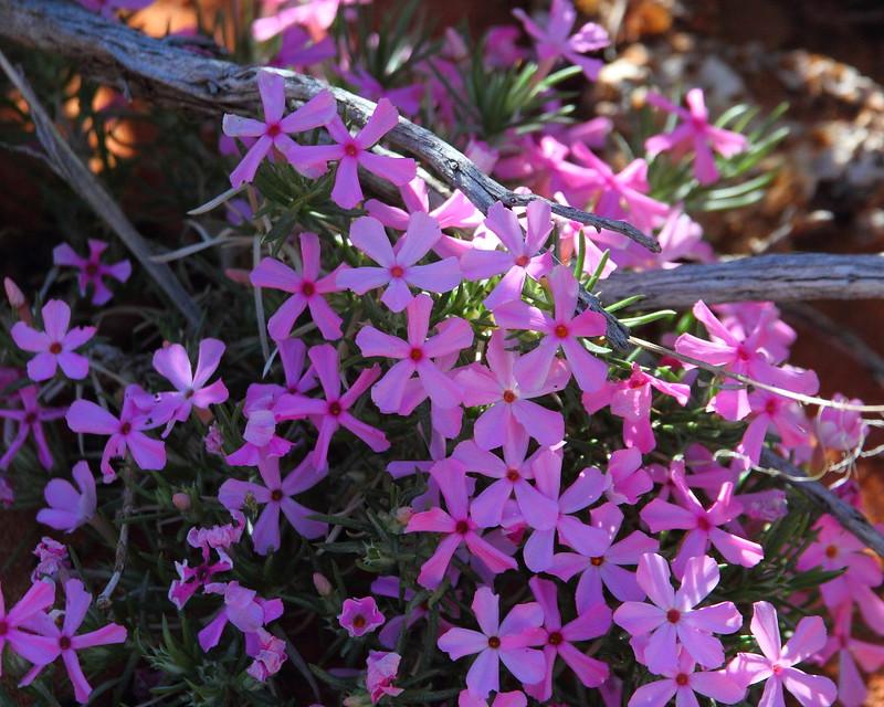 IMG_5719 Longleaf Phlox (Phlox longifolia)