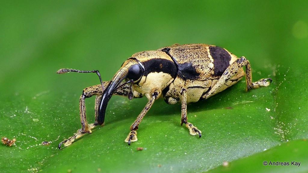 Weevil, Ambates sp., Curculionidae