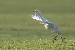 Cattle [Egret] Run