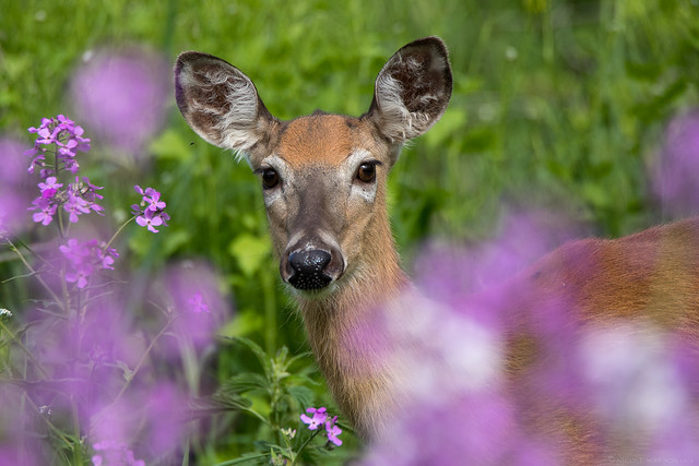 White Tailed Deer in the Dames Rocket Wildflowers (thanks for the floral id Rosemary!)