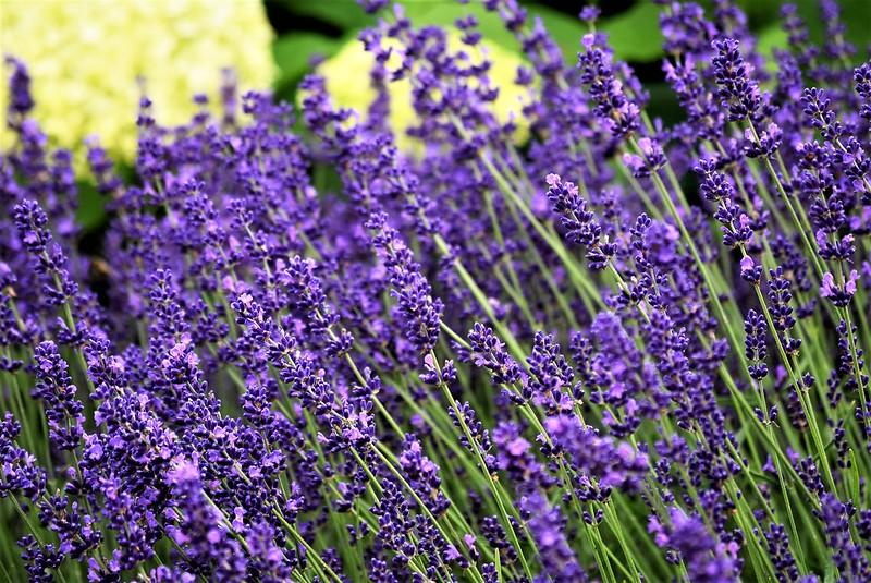 Lavender 12.06.2018