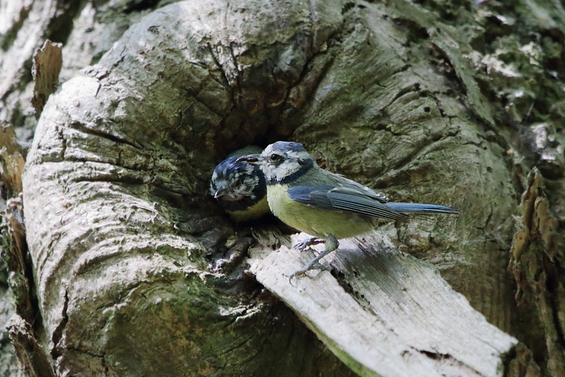 Blue Tit adults. Queuing to feed