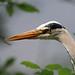IMG_1396 Grey Heron