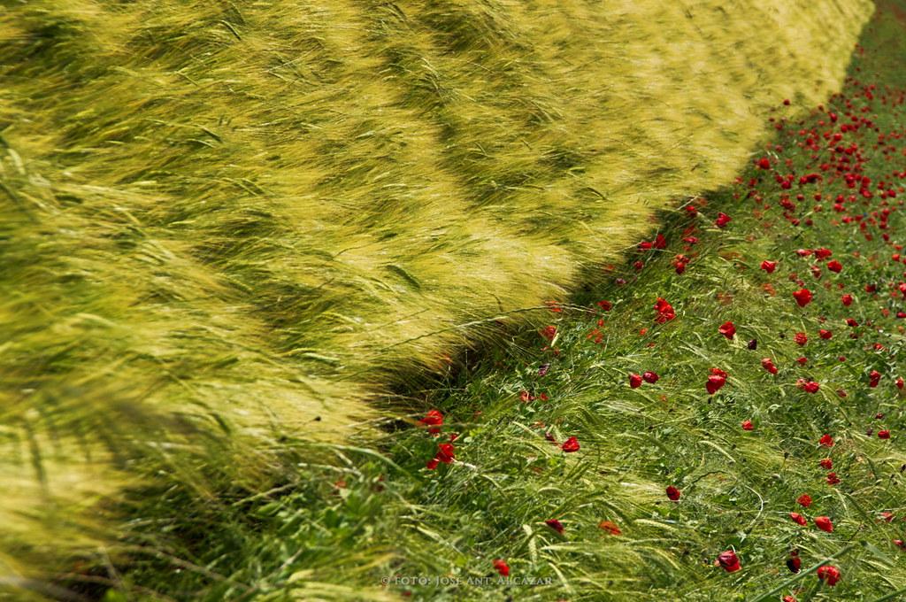 Linde de un campo de siembra y amapolas