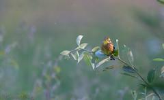 Bruant jaune-Emberiza citrinella - Yellowhammer  1226_DxO.jpg
